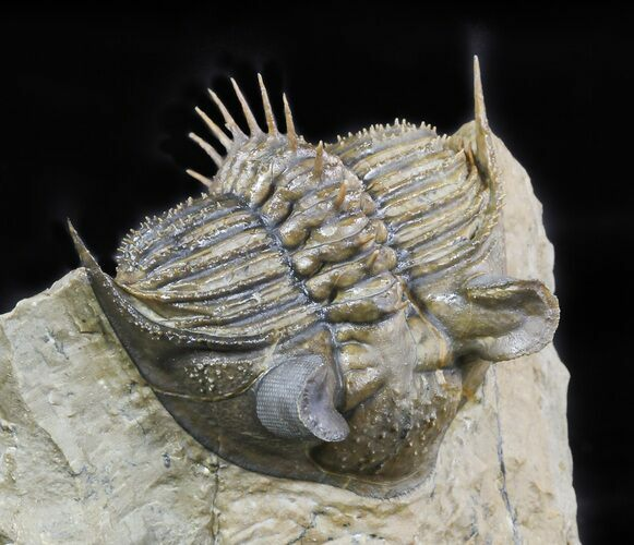 "2.3"" Tower-Eyed Erbenochile Trilobite - Check Out The Detail!"