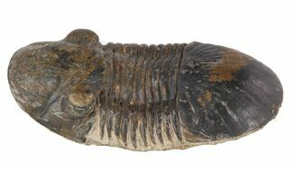 "Bargain 2.4"" Paralejurus Trilobite - Very Little Matrix For Sale, #47282"