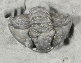 Bargain Enrolled Flexicalymene Trilobite - Ohio For Sale, #47321