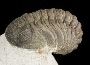 Buy Detailed Barrandeops Trilobite On Limestone Pedastal - #47377