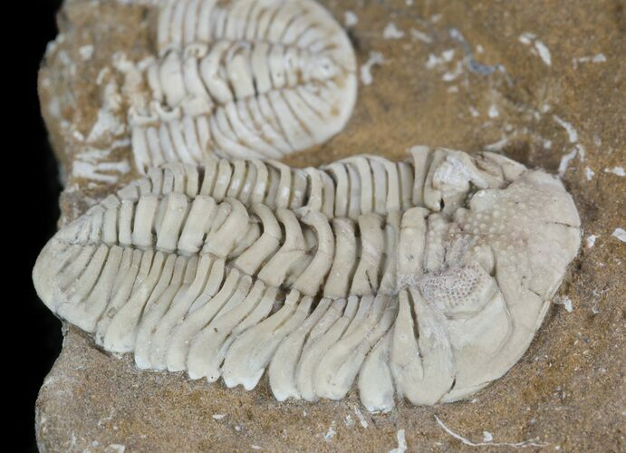 Rare Estoniops Exilis Trilobites - Northeast Estonia
