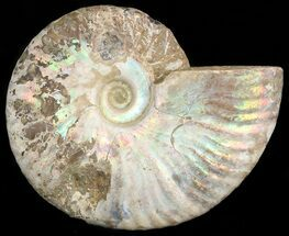 "4.2"" Silver Iridescent Ammonite - Madagascar For Sale, #47492"