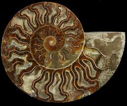 Cleoniceras cleon - Fossils For Sale - #47706