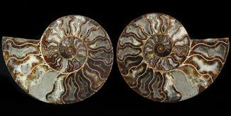 Cleoniceras cleon - Fossils For Sale - #47685