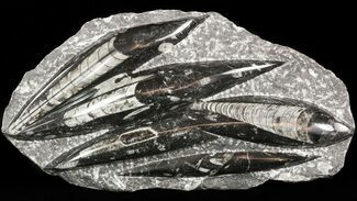 "Polished Orthoceras (Cephalopod) Plate - 10.7"" For Sale, #47993"