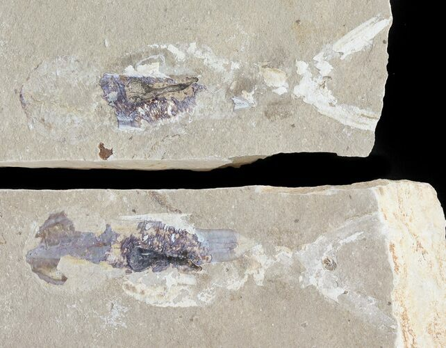 "3.6"" Cretaceous Squid (Pos/Neg) - Soft-Bodied Preservation"
