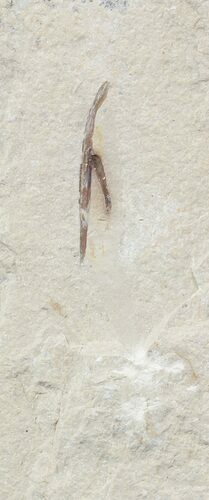 "1.8"" Cretaceous Fossil Squid - Soft-Bodied Preservation"