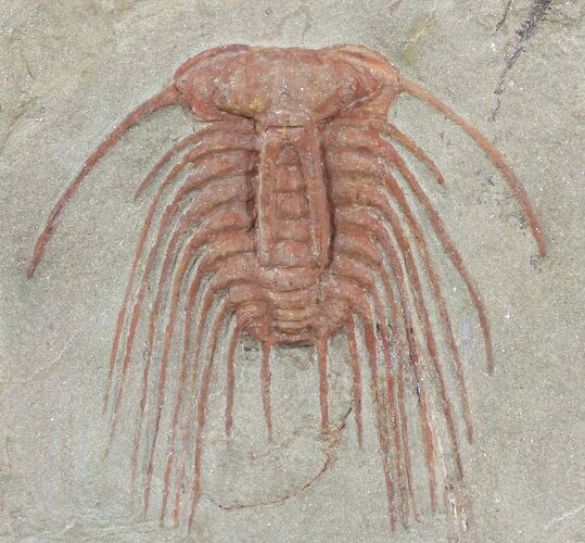 Pair of Red Selenopetis Trilobites - Morocco