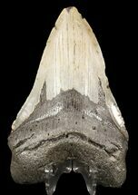 Carcharocles megalodon - Fossils For Sale - #49515