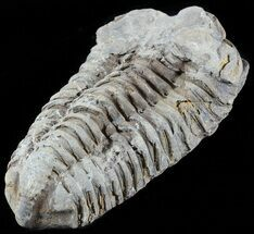 Calymene sp. - Fossils For Sale - #49668