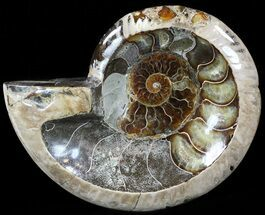 "5.8"" Wide Polished Ammonite ""Dish"" - Inlaid Ammonite  For Sale, #49787"