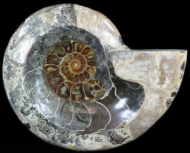 "6.9"" Wide Polished Ammonite ""Dish"" - Inlaid Ammonite Center"