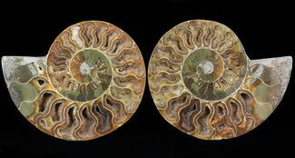 Cleoniceras cleon - Fossils For Sale - #29721