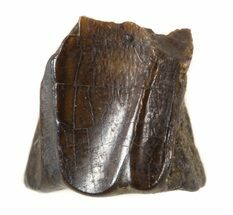 "Buy .24"" Edmontosaurus (Duck-Billed Dinosaur) Shed Tooth - #50368"