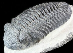 Drotops megalomanicus - Fossils For Sale - #50544