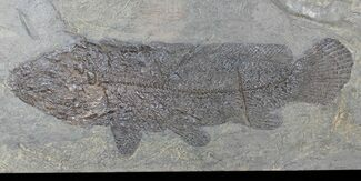 "10.7"" Amia From Messel Shales, Germany - Collector Specimen! For Sale, #50717"