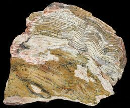 "Buy 8.2"" Strelley Pool Stromatolite Slice - 3.43 Billion Years Old - #50743"