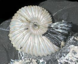 Iridescent Deschaesites Ammonite Cluster For Sale, #50762