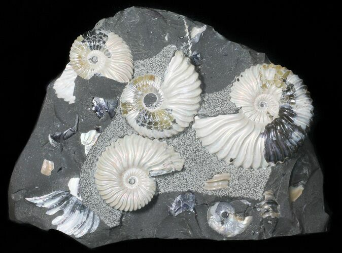 Gorgeous, Iridescent Deschaesites Ammonite Cluster