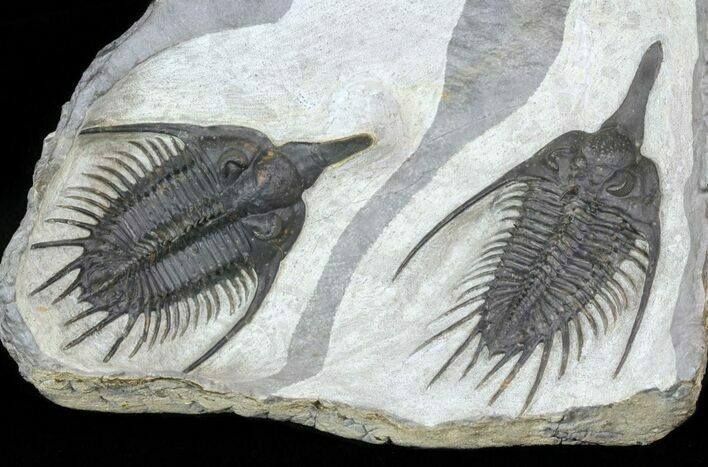 Stunning, Twin Psychopyge Trilobite - Short Snout Species
