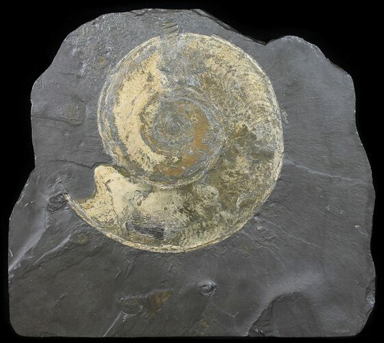 "8.5"" Wide Pyritized Ammonite (Harpoceras) Fossil - Germany"