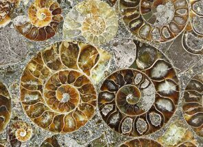 "Buy 8"" Plate Made Of Agatized Ammonite Fossils - #51049"