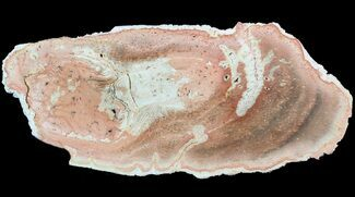 "8.5"" Petrified Tree Fern (Tietea) Slab - Brazil For Sale, #51110"