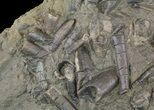 "17"" Wide Belemnite Graveyard With Over 40 Belemnites - #51149-2"