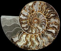 "9.3"" Cut Ammonite Fossil (Half) - Beautifully Agatized For Sale, #51245"