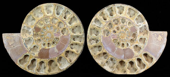 "9.5"" Cut & Polished, Jurassic Ammonite Fossil - Madagascar"