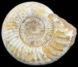 "Buy 9.2"" Wide Ammonite Fossil With Stand - Madagascar - #51259"