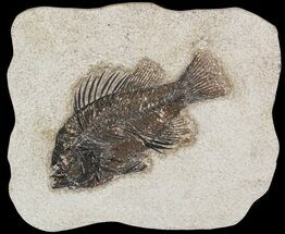 "Buy 4.89"" Cockerellites (Priscacara) Fossil Fish - Hanger Installed - #51055"