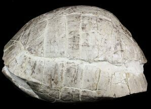"8"" Fossil Tortoise (Stylemys) From Nebraska - Very Inflated For Sale, #51317"