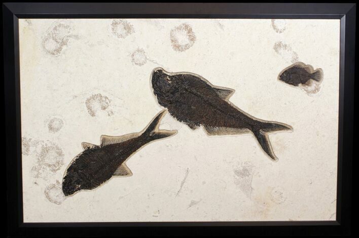 "43"" Wide, Framed Fossil Fish Plate - Amazing Wall Display"