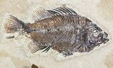 "17"" Tall Clock With Cockerellites Fish Fossil - Wyoming - #51441-1"