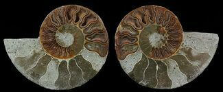 Cleoniceras cleon - Fossils For Sale - #51480