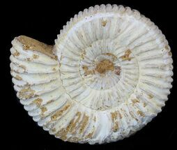 "Buy 1-3/4"" to 2"" Ammonite (Perisphinctes) Fossils  - #53218"