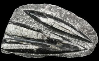 "Buy 5.7"" Polished Fossil Orthoceras (Cephalopod) Plate - #52573"