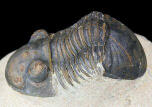 "Buy 1.7"" Paralejurus Trilobite Fossil - Foum Zguid, Morocco - #53524"