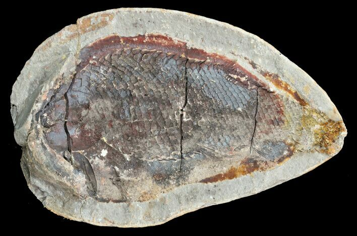 "4"" Triassic Fossil Fish In Nodule (Pos/Neg) - Madagascar"