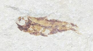 "Buy Bargain, 1.1"" Cretaceous Fossil Fish - Lebanon - #53935"