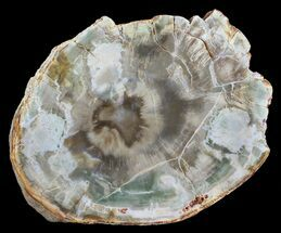 "4.3"" Petrified Wood (Araucaria) Slab - Madagascar For Sale, #54008"