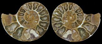 "3.1"" Cut & Polished, Agatized Ammonite Fossil - Jurassic For Sale, #53786"