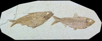 Two Large Knightia Fossil Fish - Wyoming For Sale, #54296