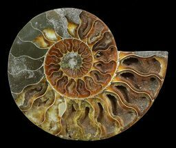 "Buy 6.1"" Cut Ammonite Fossil (Half) - Agatized - #54355"