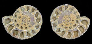 "Buy 3"" Cut & Polished Ammonite (Perisphinctes) Fossil  - #53857"