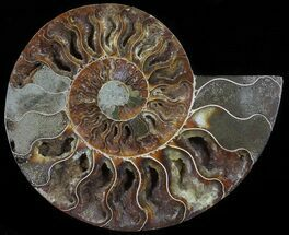 "6"" Cut Ammonite Fossil (Half) - Agatized For Sale, #54341"