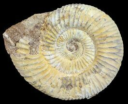 "2.9"" Perisphinctes Ammonite - Jurassic For Sale, #54227"