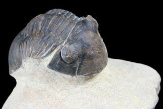 "Bargain, 1.8"" Paralejurus Trilobite Fossil - Foum Zguid, Morocco For Sale, #53540"