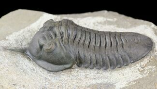 "Excellent, 3"" Morocconites Trilobite  - Ofaten, Morocco For Sale, #54329"